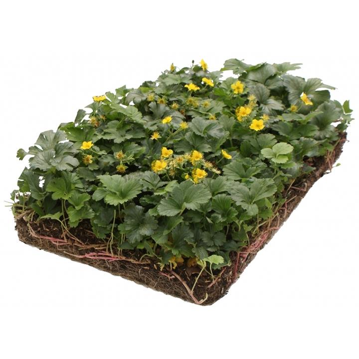 Bodendecker pflanzen: wann?