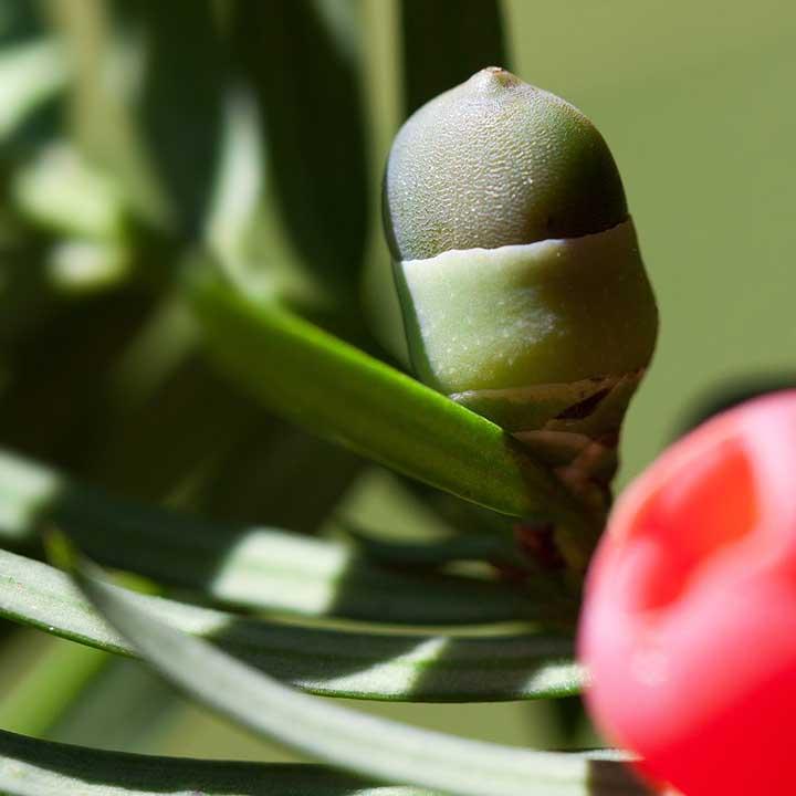 Eibenhecke pflanzen
