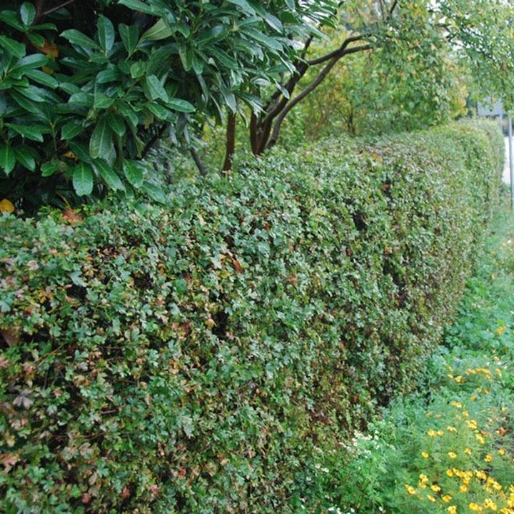 Heckenpflanzen für natürliche Gärten