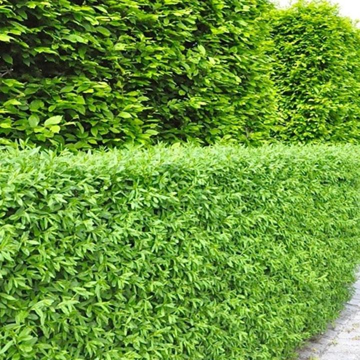 Heckenpflanzen für sandige Böden im Garten