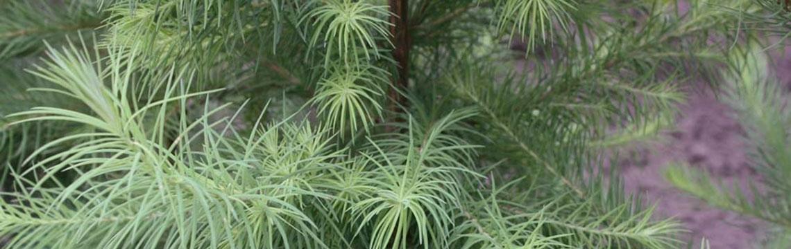 Heckenpflanzen für sandige Böden online kaufen