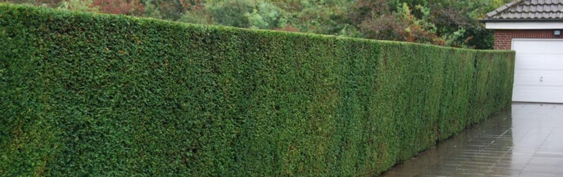 Hohe Heckenpflanzen kaufen auf Heckenonline.at
