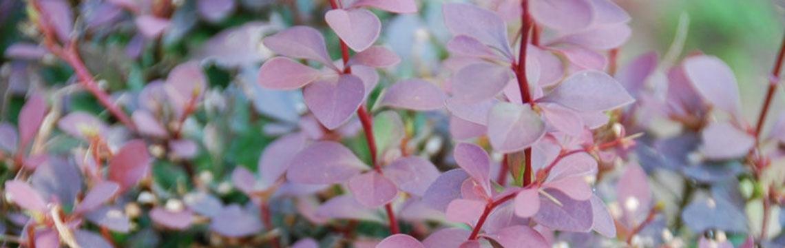 Die richtige Pflanze auswählen mit Heckenonline.at