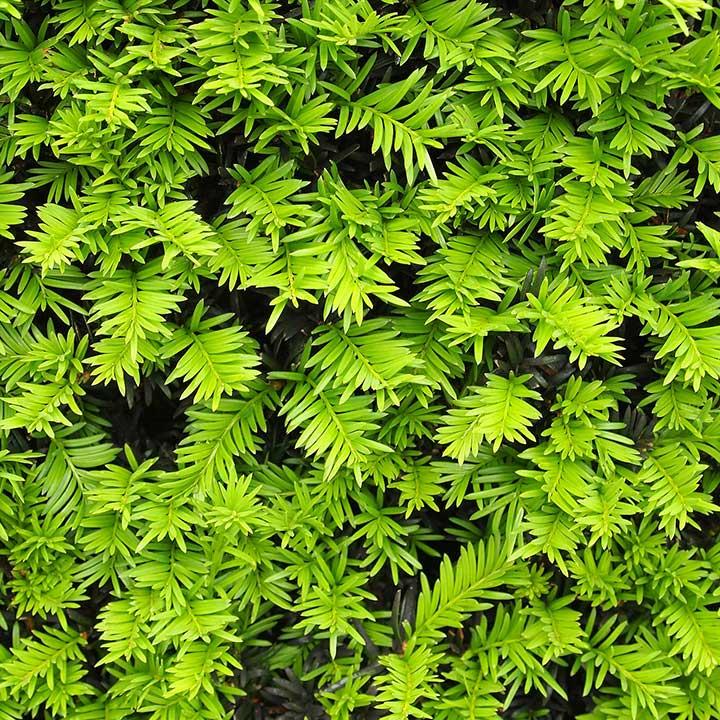 Pflanzen Eibenhecke